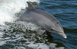 dolphin open sea