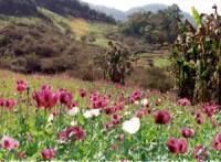 opiumanbau