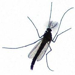 malariamuecke