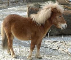 pony_pferd