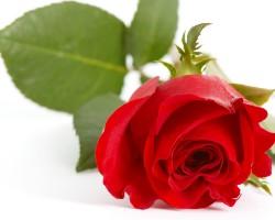 rote_rose_1