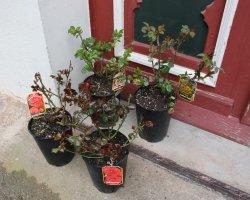 gespendete rosen